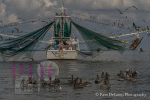 Pelicans waiting for a treat