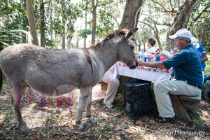 Domesticated donkey begging